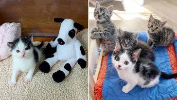 Gatinho apegado a pelúcia de vaca faz amizade com outros gatinhos