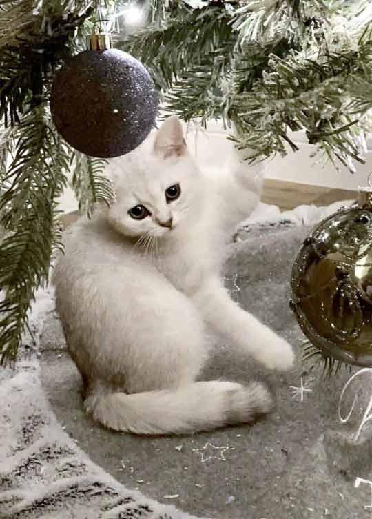 Gatinho-camuflado-em-árvore-de-Natal-imagem