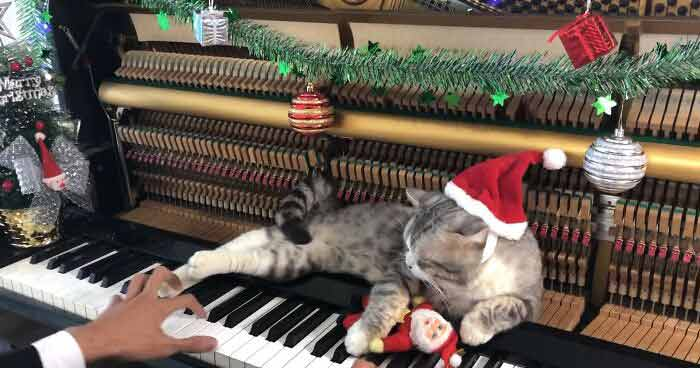 Gato-recebe-massagem-de-piano-enquanto-dono-toca-Natal