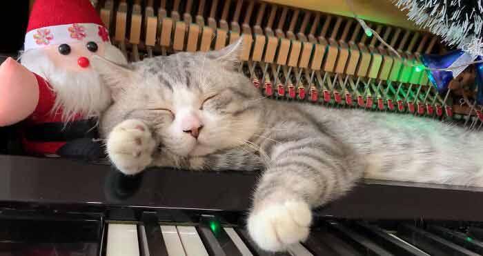 Gato-recebe-massagem-de-piano-enquanto-dono-toca-músicas-de-Natal