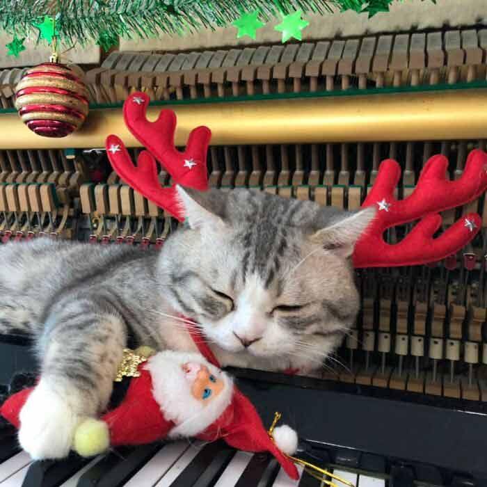 Gato-recebe-massagem-de-piano-músicas-de-Natal