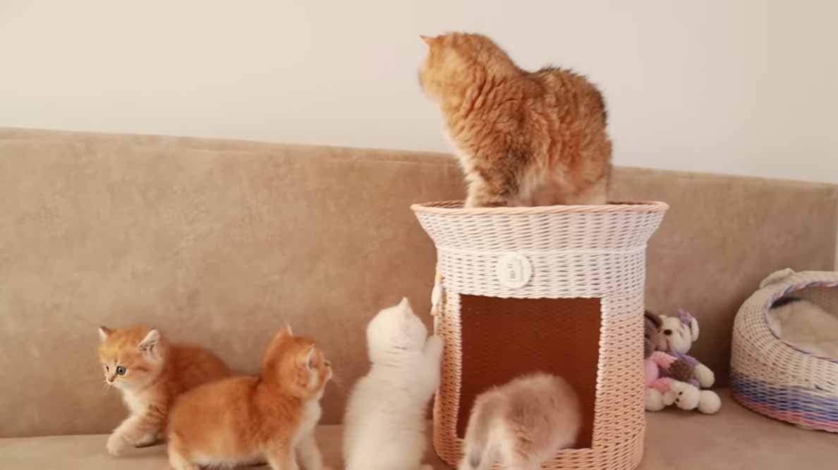 Mamãe-gatinha-tenta-organizar-filhotes-vídeo