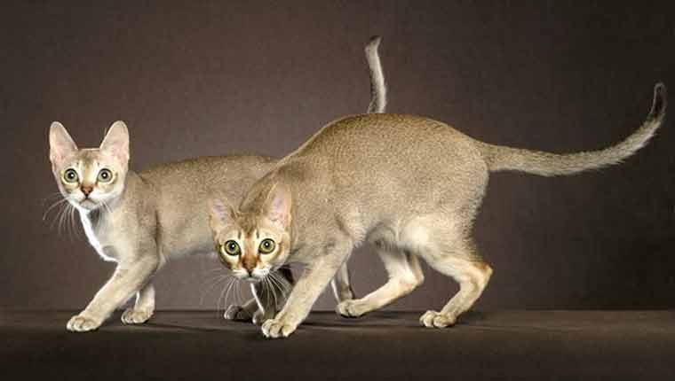 Qual-é-a-menor-raça-de-gato-do-mundo-fotos