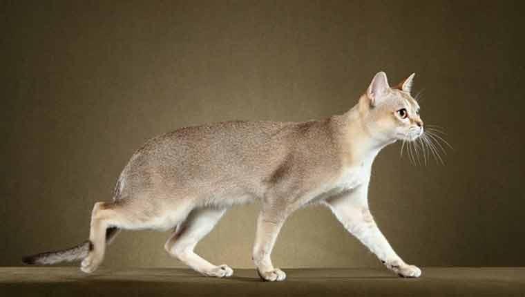 Qual-é-a-menor-raça-de-gato-do-mundo-imagem