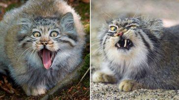 Raça selvagem de gatos