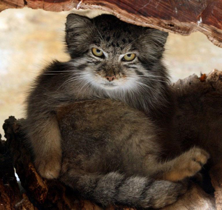 Raça selvagem de gatos expressivos