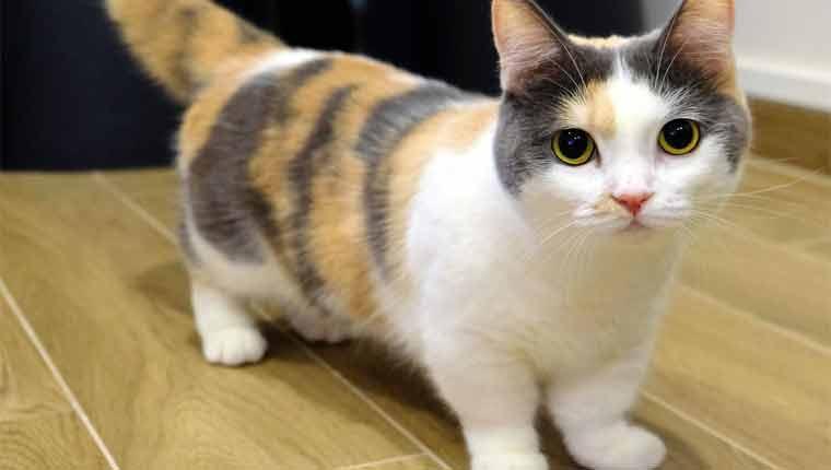 Raças-de-gato-mais-raras-munchkin