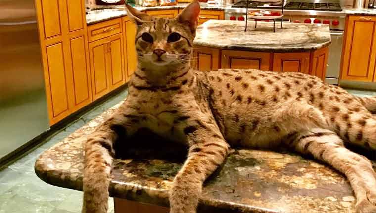 Raças-de-gato-mais-raras-savannah