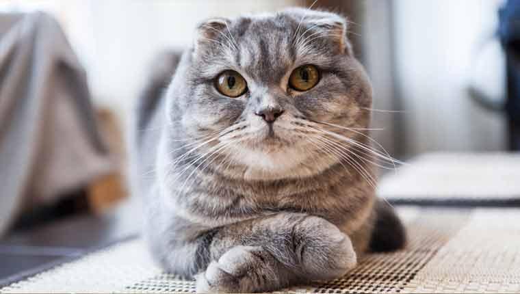 Raças-de-gato-mais-raras-scottish-fold