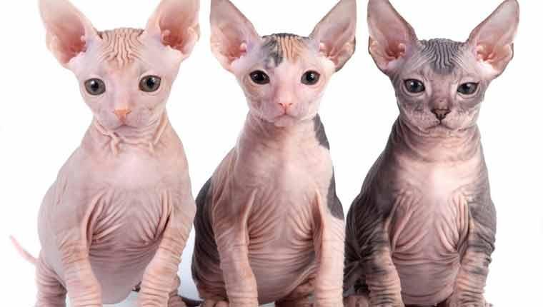 Raças-de-gato-mais-raras-sphynx
