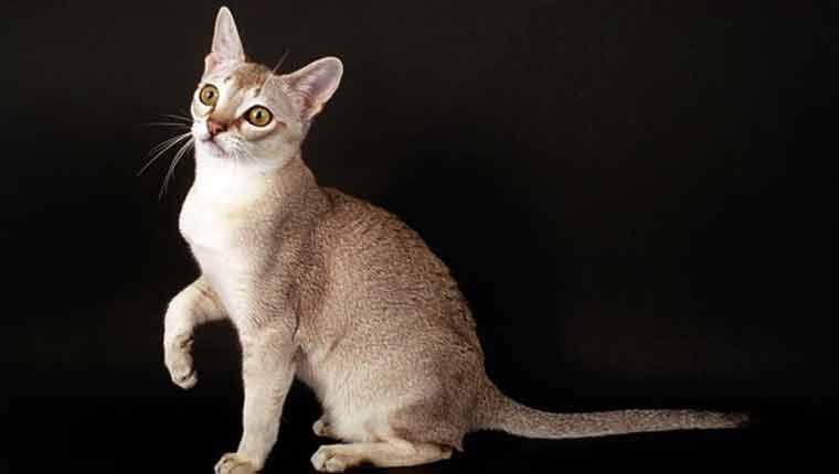 menor-raça-de-gato