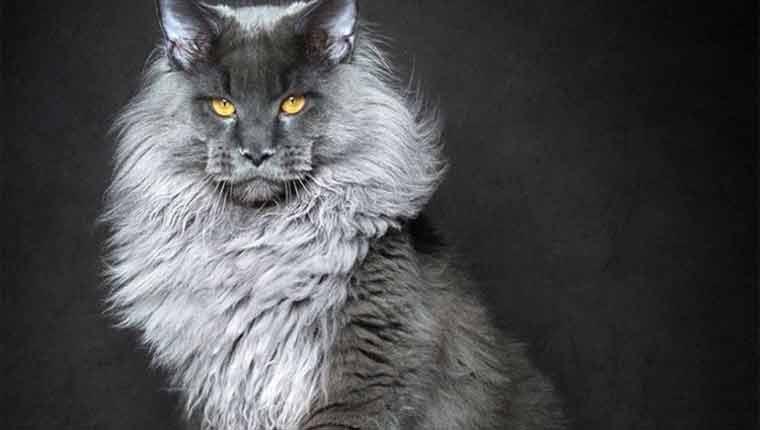 qual-é-a-maior-raça-de-gato-do-mundo