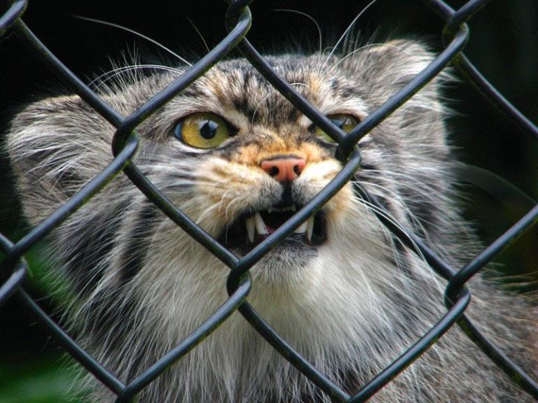 raças de gatinhos mais lindas