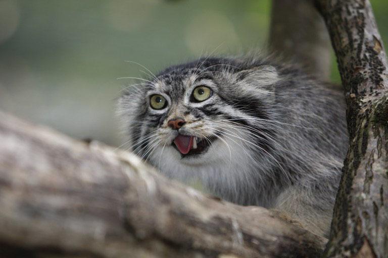 raças de gatinhos