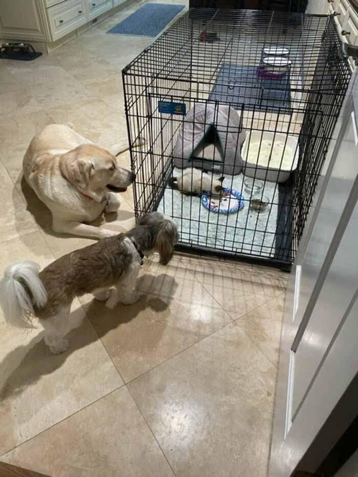 Cachorro labrador gatinha siamesa