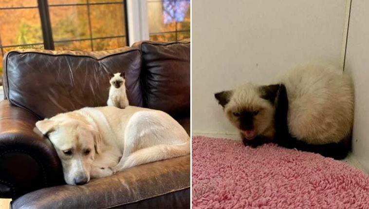 Cachorro labrador gigante gatinha