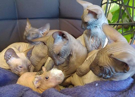 Família de gatos Sphynx porquinho da índia