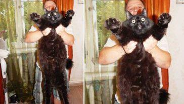 Gatinho gigantesco