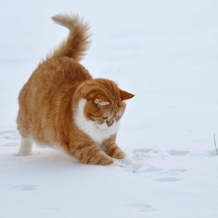 Gatinho redondo apaixonado por neve encanta com fotos