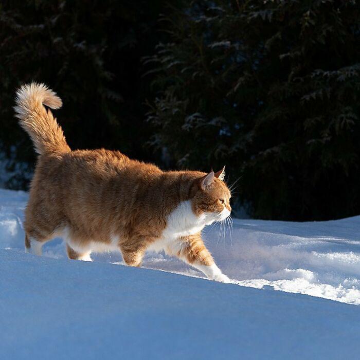 Gatinho redondo apaixonado por neve encanta