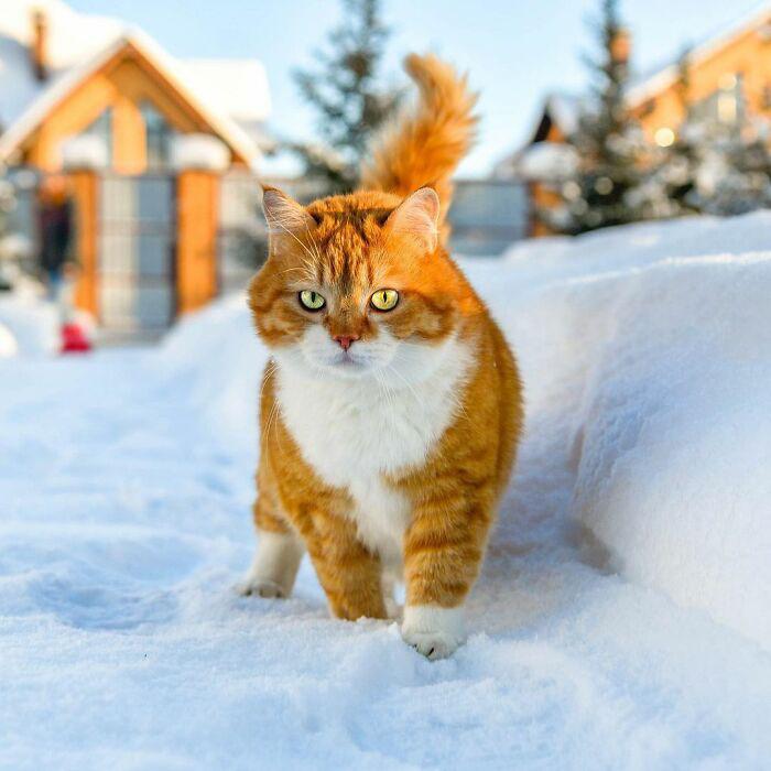 Gatinho redondo apaixonado por neve fotos
