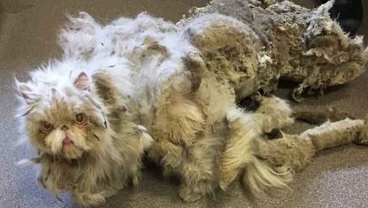Gato persa passou por tosa
