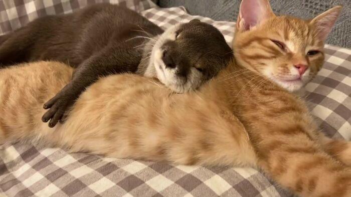 Lontra abraça gatinho na hora