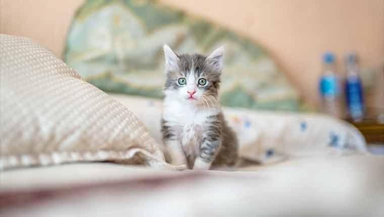 Óleos-essenciais-e-difusores-envenenamento-de-gatos