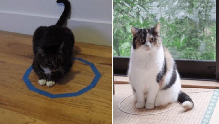 Por que os gatos ficam em círculos