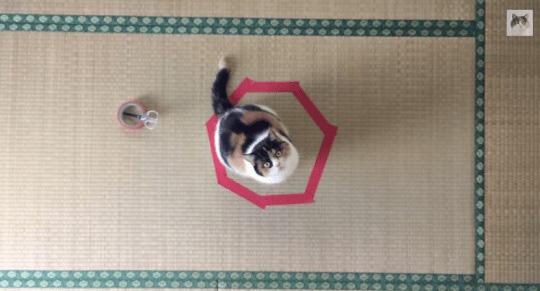 Por que os gatos ficam em círculos curiosidades