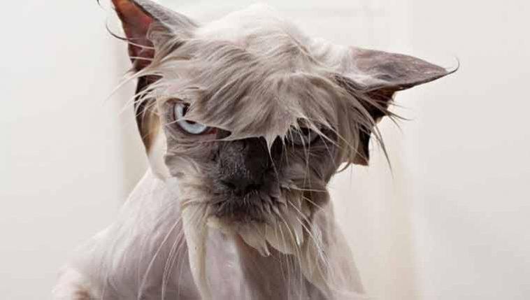 Por-que-os-gatos-odeiam-água