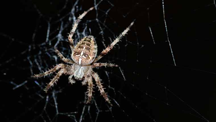 Quais-aranhas-que-não-têm-veneno