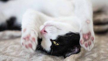 Como saber se o gatinho é canhoto ou destro? Um truque simples