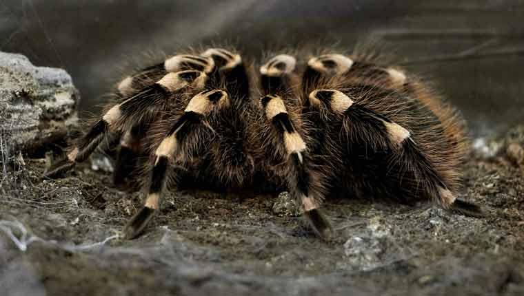 curiosidades-sobre-aranhas-veneno