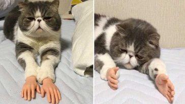 gatinho com mãos humanas