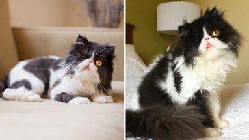 gatinho persa de um olho