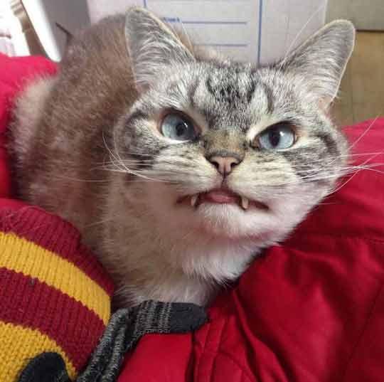gatinho-vampiro-fofo-lindo