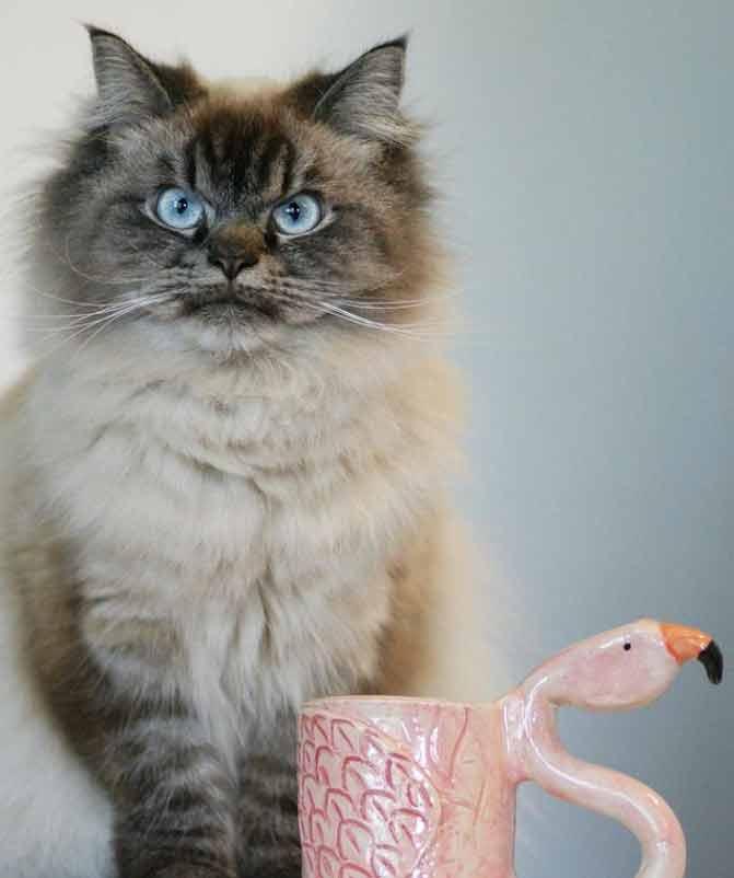 gato-psicopata
