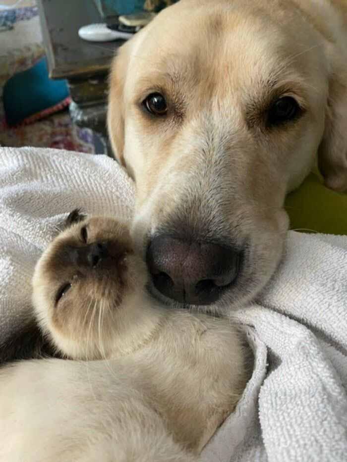 labrador e siamês