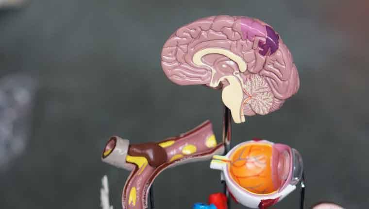 melhores-curiosidades-sobre-o-cérebro