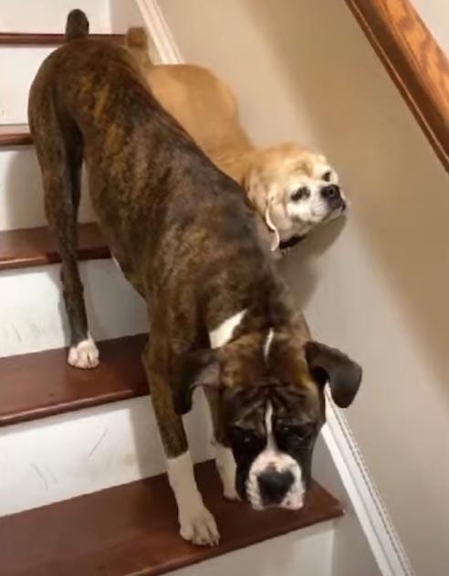 Cachorro ajuda irmão cego na escada