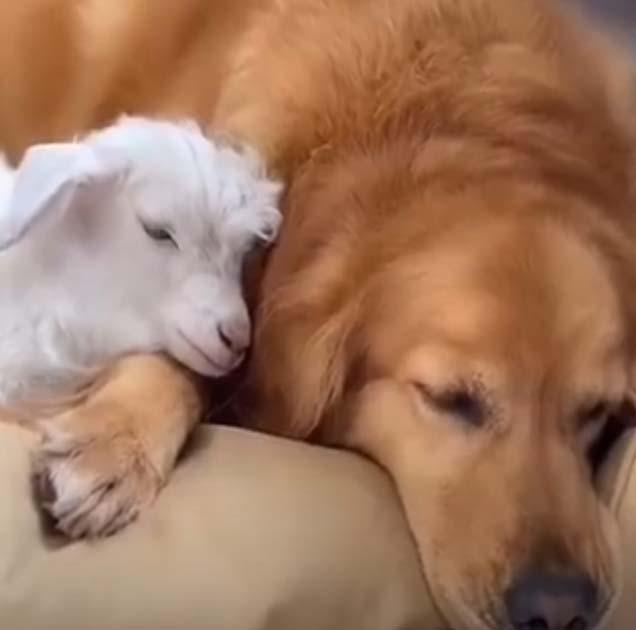 Cachorro golden retriever adotou ovelha