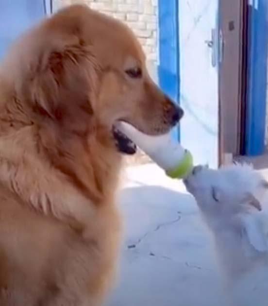 Cachorro golden retriever adotou