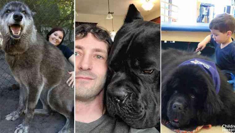 Cachorros gigantes