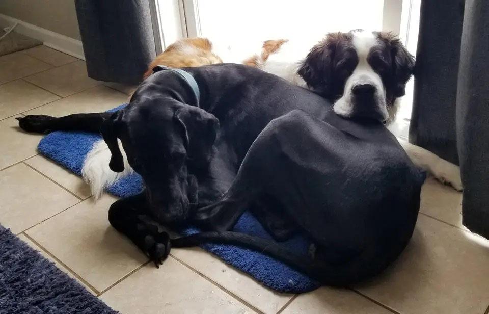 Cachorros gigantes que acham