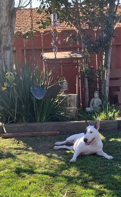 Cadela bull terrier aprende balanço