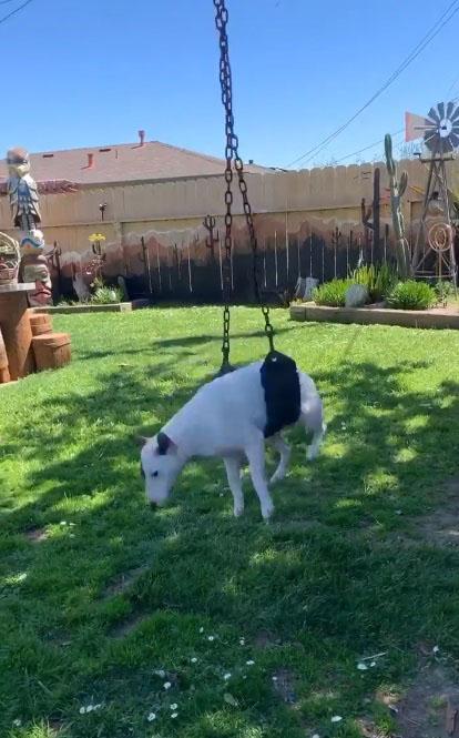 Cadela bull terrier balanço