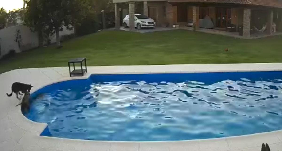 Cadela idosa caiu na piscina e um filhote