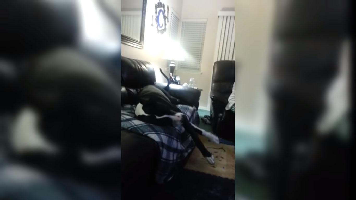 Dogue alemão gigante mimado vídeo