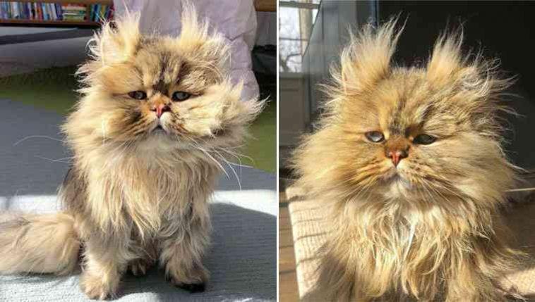 Gato persa desarrumado